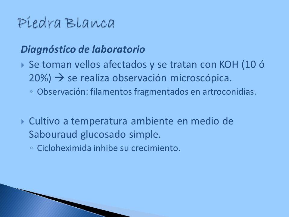 Diagnóstico de laboratorio Se toman vellos afectados y se tratan con KOH (10 ó 20%) se realiza observación microscópica. Observación: filamentos fragm