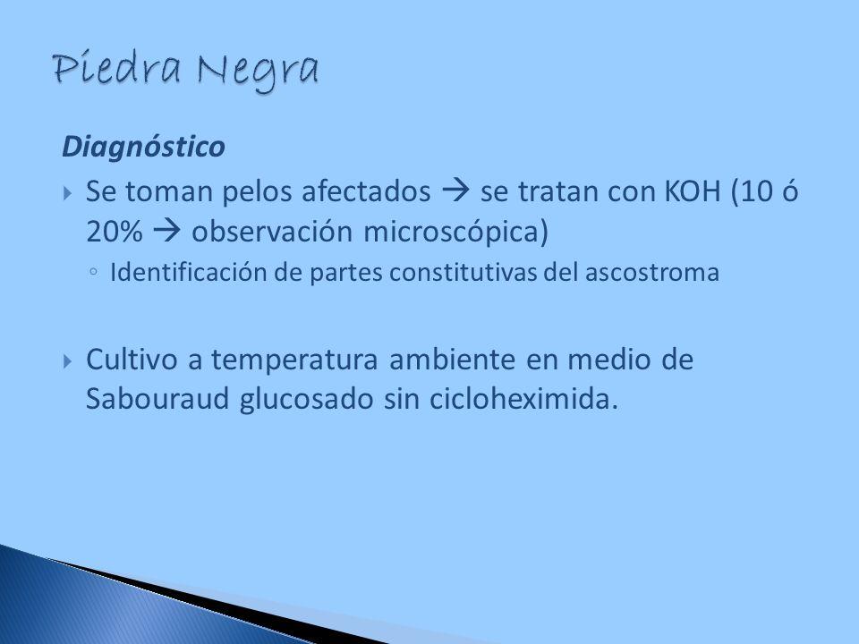 Diagnóstico Se toman pelos afectados se tratan con KOH (10 ó 20% observación microscópica) Identificación de partes constitutivas del ascostroma Culti