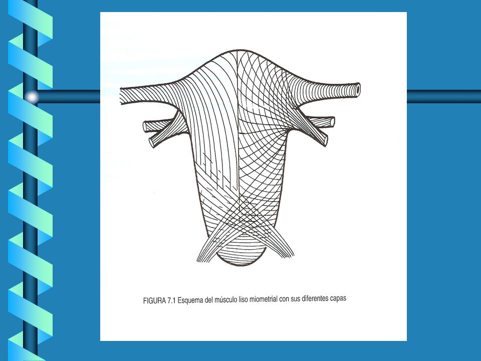 Aparato contráctil : Compuesto de filamentos de actina y miosina.