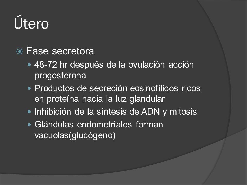 Útero Fase secretora 48-72 hr después de la ovulación acción progesterona Productos de secreción eosinofílicos ricos en proteína hacia la luz glandula