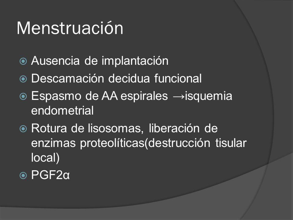Menstruación Ausencia de implantación Descamación decidua funcional Espasmo de AA espirales isquemia endometrial Rotura de lisosomas, liberación de en