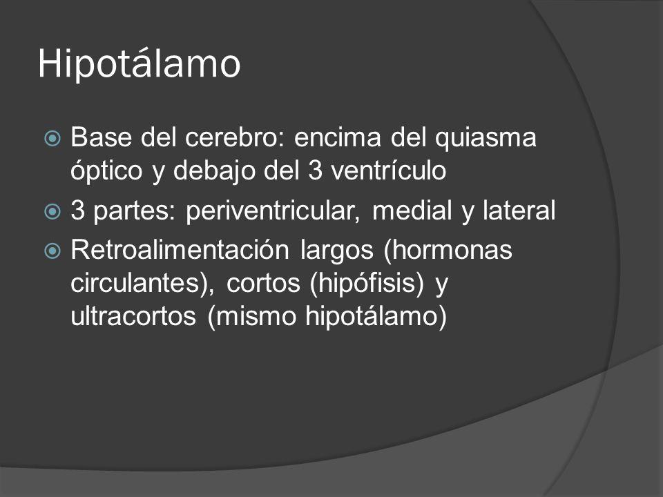 Hipotálamo Base del cerebro: encima del quiasma óptico y debajo del 3 ventrículo 3 partes: periventricular, medial y lateral Retroalimentación largos