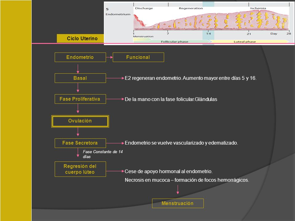 Ciclo Uterino EndometrioFuncional Basal E2 regeneran endometrio. Aumento mayor entre días 5 y 16. Fase Proliferativa De la mano con la fase folicular.