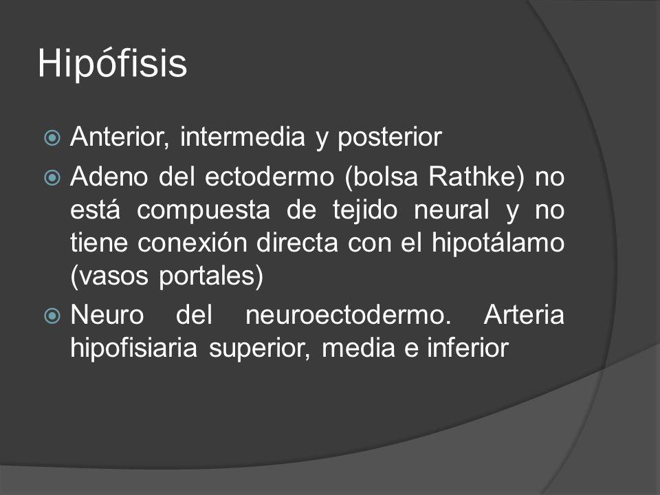 Hipófisis Anterior, intermedia y posterior Adeno del ectodermo (bolsa Rathke) no está compuesta de tejido neural y no tiene conexión directa con el hi