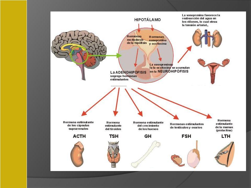 Hipófisis Hematoxicilina-eosina Ácidofilas: GH, prolactina, ACTH Basófilas: gonadotropinas Cromófobas: TSH