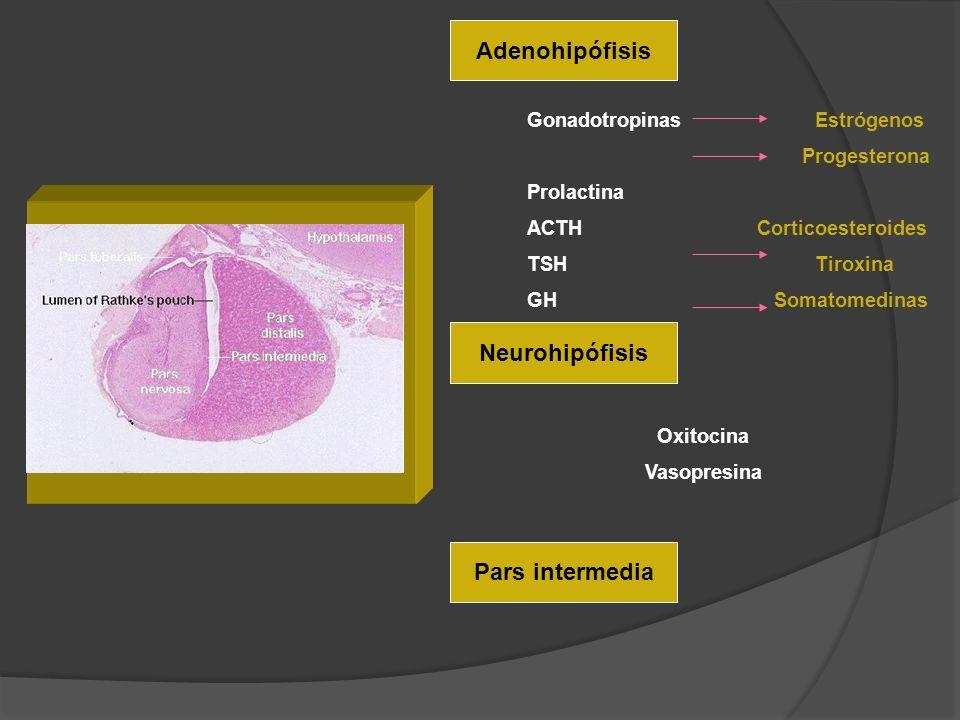 Adenohipófisis Neurohipófisis Pars intermedia GonadotropinasEstrógenos Progesterona Prolactina ACTH Corticoesteroides TSHTiroxina GH Somatomedinas Oxi