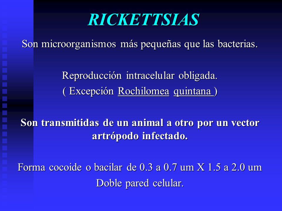 RICKETTSIAS Son microorganismos más pequeñas que las bacterias. Reproducción intracelular obligada. ( Excepción Rochilomea quintana ) Son transmitidas