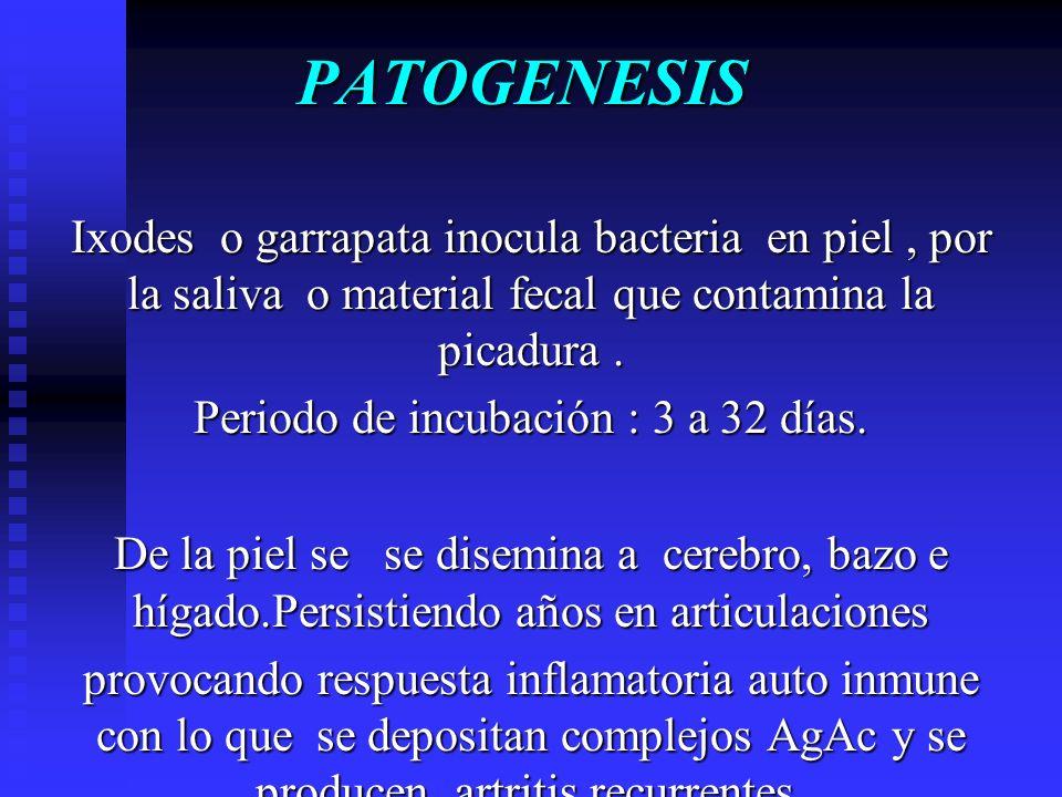 PATOGENESIS Ixodes o garrapata inocula bacteria en piel, por la saliva o material fecal que contamina la picadura. Periodo de incubación : 3 a 32 días