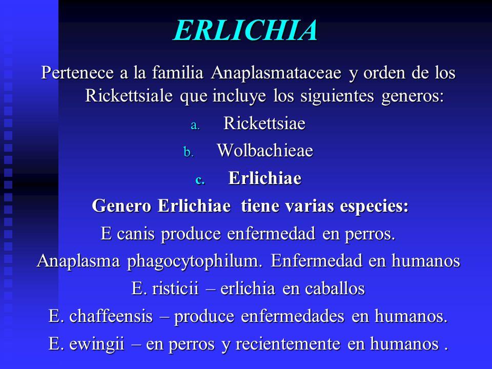 ERLICHIA Pertenece a la familia Anaplasmataceae y orden de los Rickettsiale que incluye los siguientes generos: a. Rickettsiae b. Wolbachieae c. Erlic