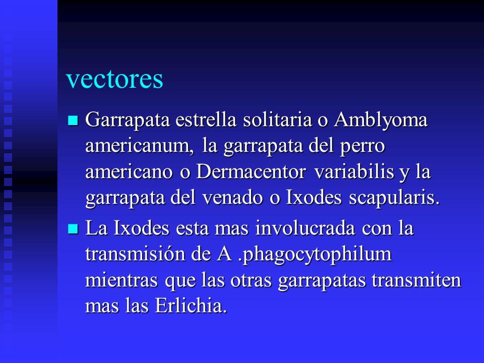 vectores Garrapata estrella solitaria o Amblyoma americanum, la garrapata del perro americano o Dermacentor variabilis y la garrapata del venado o Ixo
