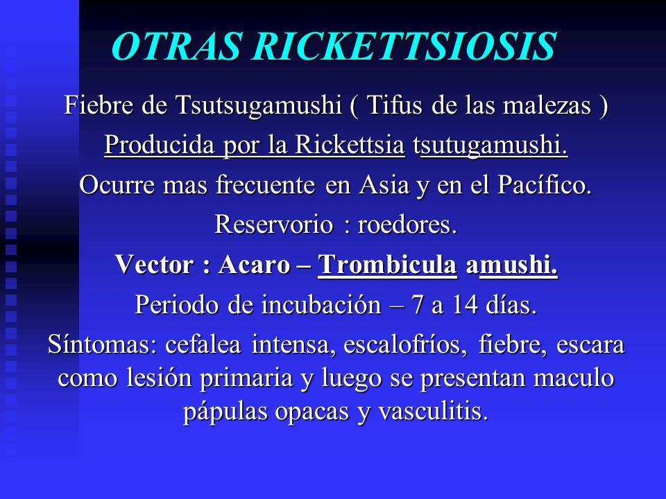 OTRAS RICKETTSIOSIS Fiebre de Tsutsugamushi ( Tifus de las malezas ) Producida por la Rickettsia tsutugamushi. Ocurre mas frecuente en Asia y en el Pa