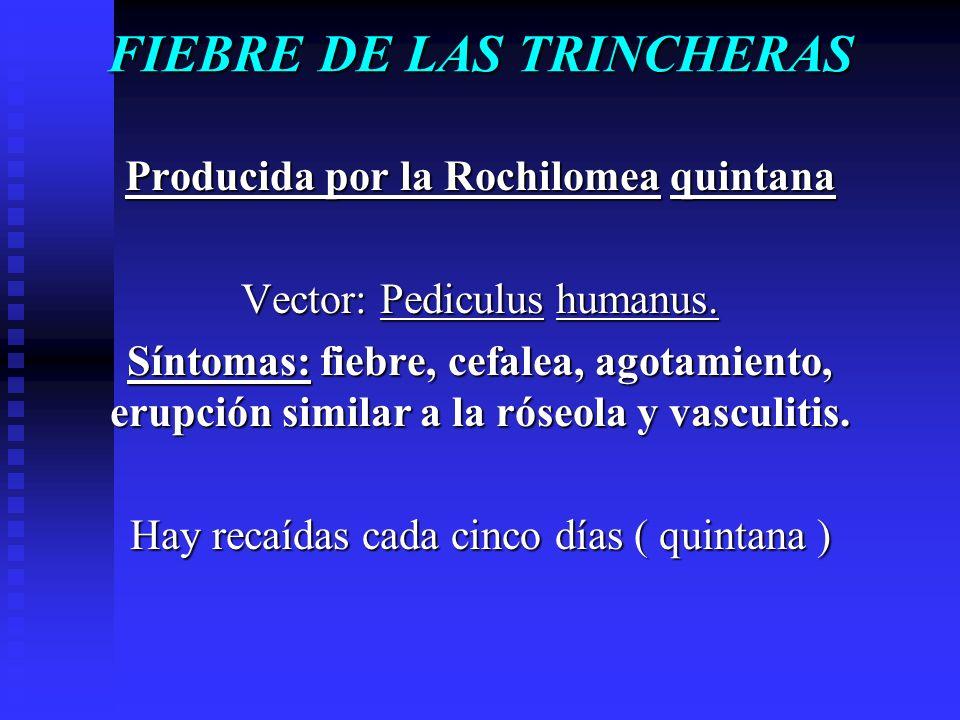 FIEBRE DE LAS TRINCHERAS Producida por la Rochilomea quintana Vector: Pediculus humanus. Síntomas: fiebre, cefalea, agotamiento, erupción similar a la