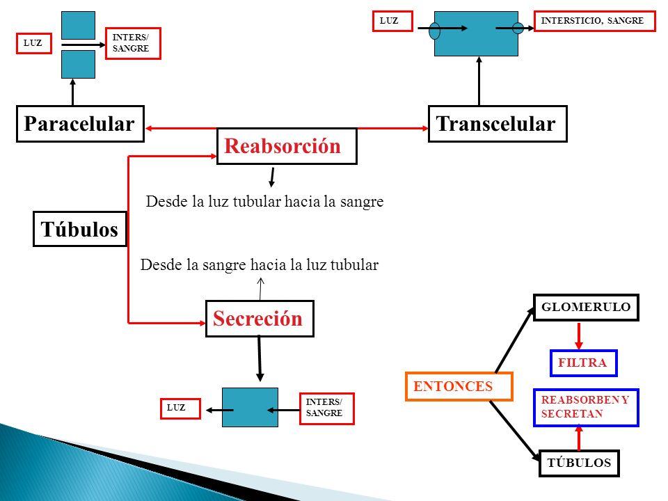 Túbulos TranscelularParacelular Desde la luz tubular hacia la sangre Secreción Desde la sangre hacia la luz tubular ENTONCES GLOMERULO FILTRA TÚBULOS REABSORBEN Y SECRETAN LUZINTERSTICIO, SANGRE LUZ INTERS/ SANGRE LUZ INTERS/ SANGRE Reabsorción