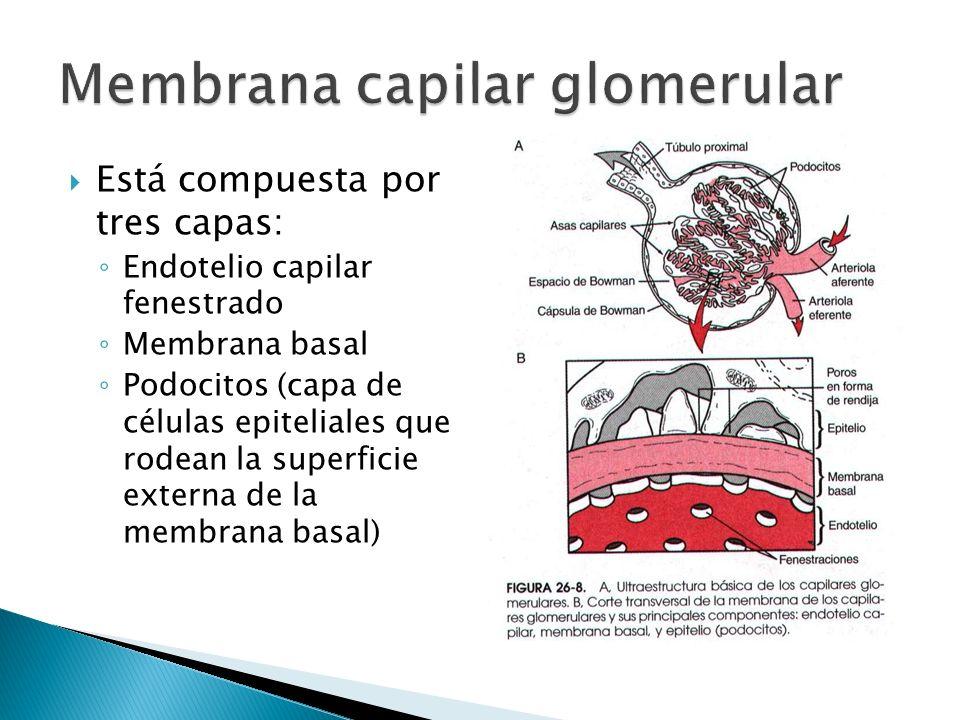 Está compuesta por tres capas: Endotelio capilar fenestrado Membrana basal Podocitos (capa de células epiteliales que rodean la superficie externa de la membrana basal)