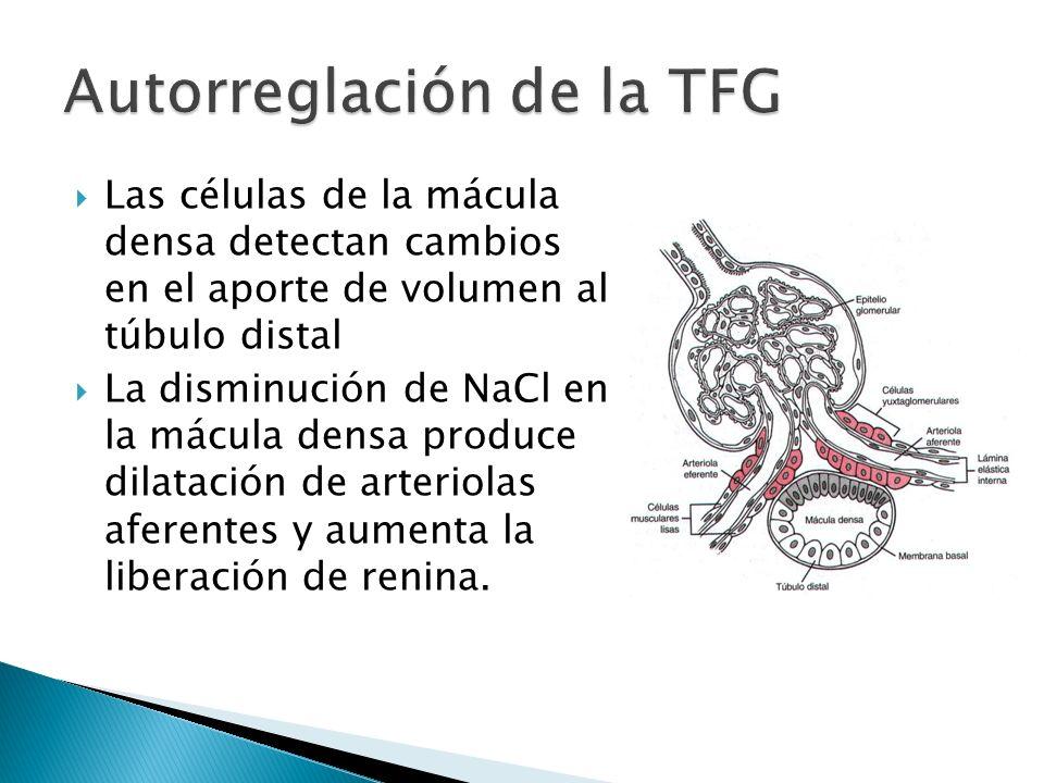 Las células de la mácula densa detectan cambios en el aporte de volumen al túbulo distal La disminución de NaCl en la mácula densa produce dilatación de arteriolas aferentes y aumenta la liberación de renina.