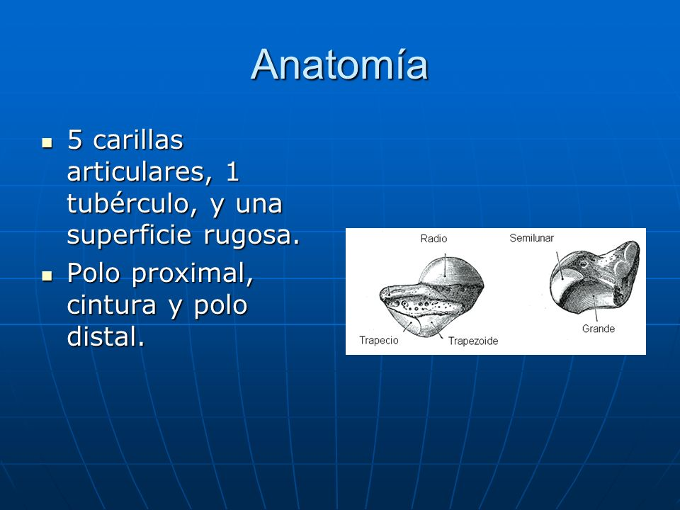 Anatomía 5 carillas articulares, 1 tubérculo, y una superficie rugosa. 5 carillas articulares, 1 tubérculo, y una superficie rugosa. Polo proximal, ci