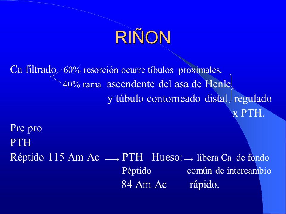 RIÑON Ca filtrado 60% resorción ocurre tíbulos proximales. 40% rama ascendente del asa de Henle y túbulo contorneado distal regulado x PTH. Pre pro PT