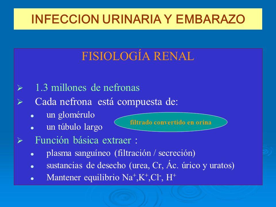INFECCION URINARIA Y EMBARAZO FISIOLOGÍA RENAL 1.3 millones de nefronas Cada nefrona está compuesta de: un glomérulo un túbulo largo Función básica ex