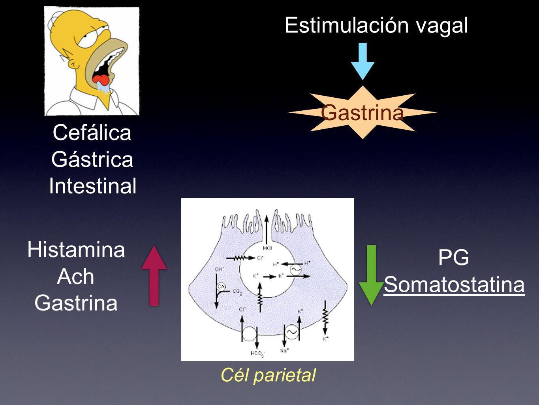 Histamina Ach Gastrina PG Somatostatina Cél parietal Cefálica Gástrica Intestinal Estimulación vagal Gastrina