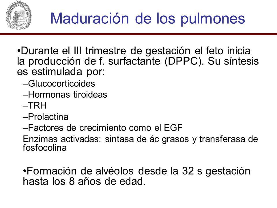Maduración de los pulmones Durante el III trimestre de gestación el feto inicia la producción de f. surfactante (DPPC). Su síntesis es estimulada por: