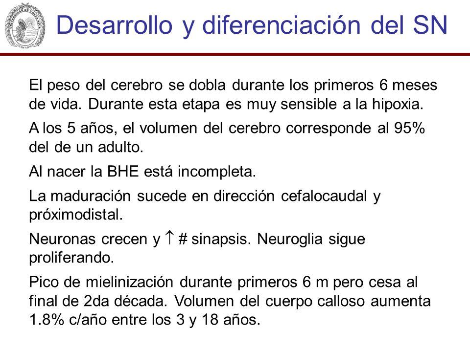 El peso del cerebro se dobla durante los primeros 6 meses de vida. Durante esta etapa es muy sensible a la hipoxia. A los 5 años, el volumen del cereb