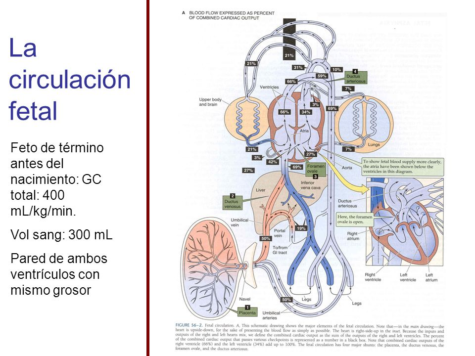 La circulación fetal Feto de término antes del nacimiento: GC total: 400 mL/kg/min. Vol sang: 300 mL Pared de ambos ventrículos con mismo grosor