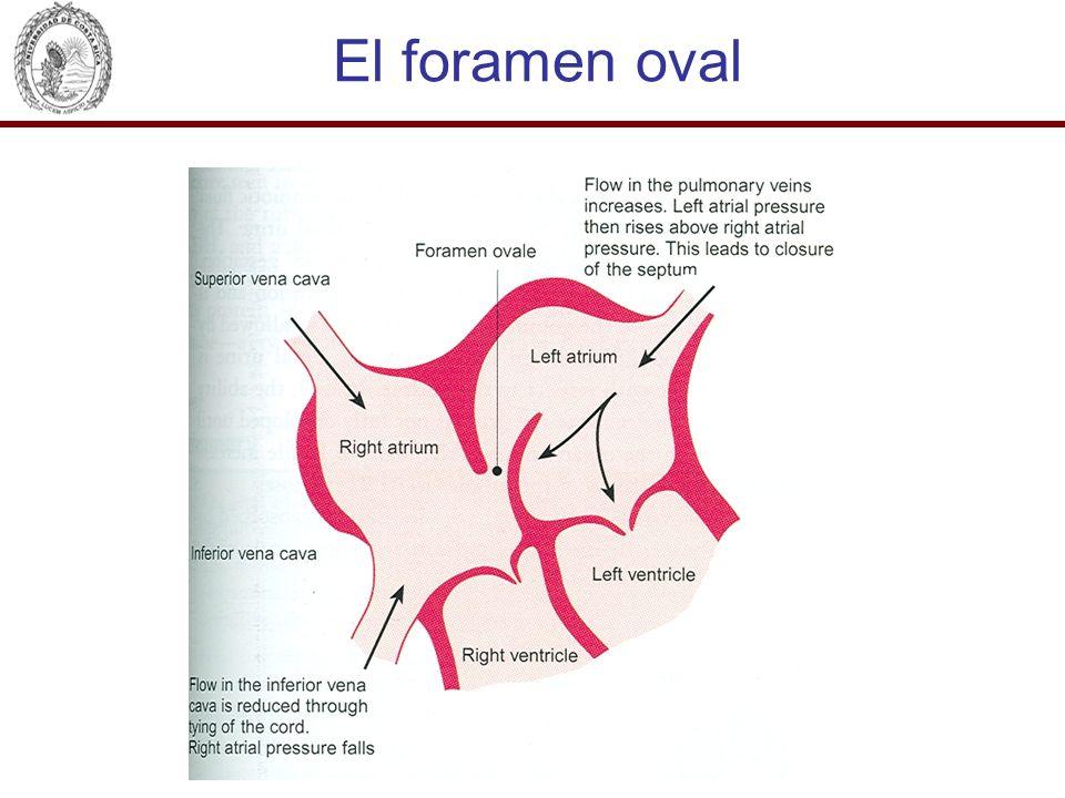 El foramen oval