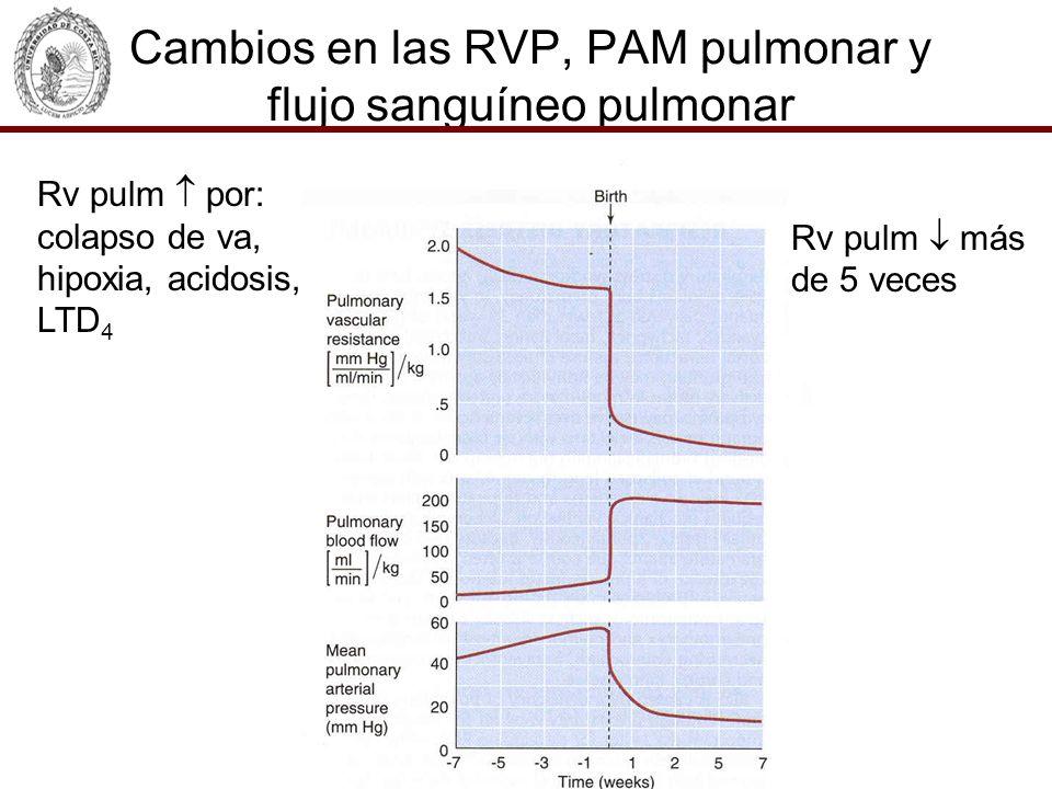 Cambios en las RVP, PAM pulmonar y flujo sanguíneo pulmonar Rv pulm por: colapso de va, hipoxia, acidosis, LTD 4 Rv pulm más de 5 veces
