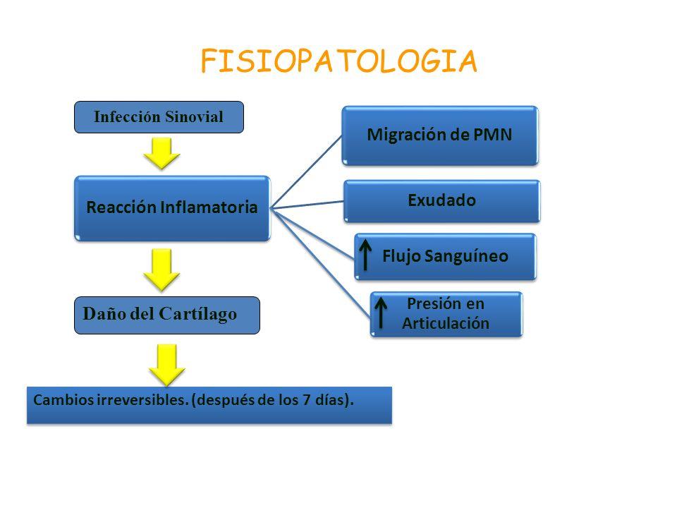 Cambios irreversibles. (después de los 7 días). FISIOPATOLOGIA Infección Sinovial Reacción Inflamatoria Migración de PMN Exudado Flujo Sanguíneo Presi
