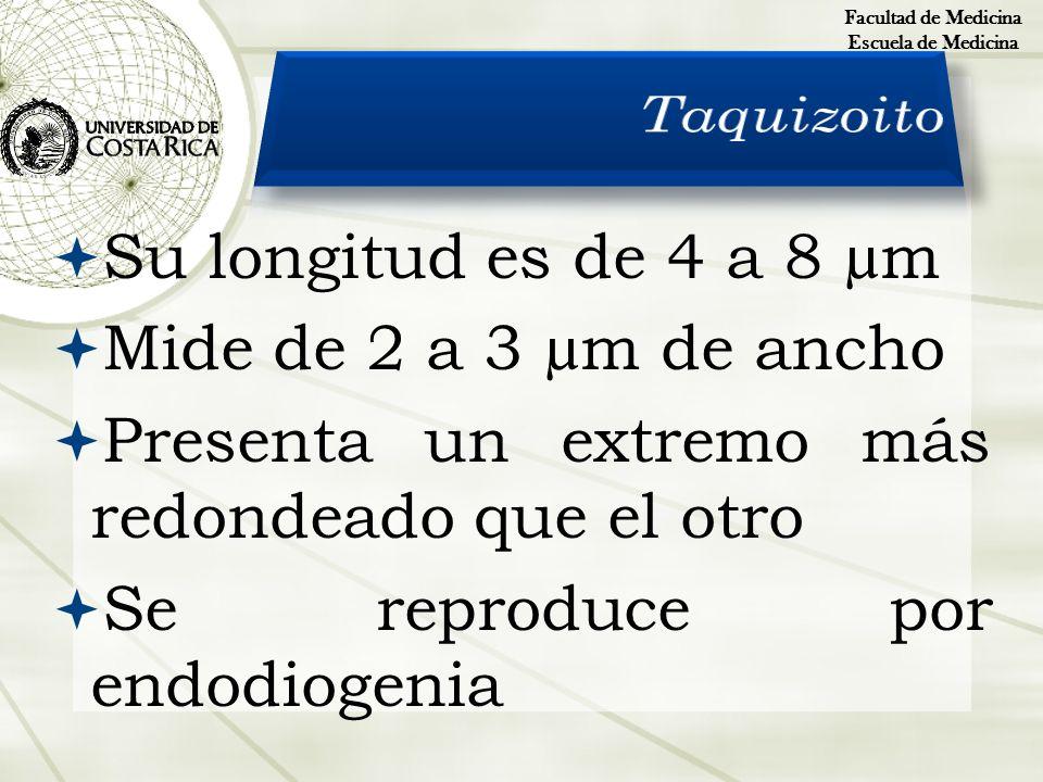 Su longitud es de 4 a 8 µm Mide de 2 a 3 µm de ancho Presenta un extremo más redondeado que el otro Se reproduce por endodiogenia Facultad de Medicina