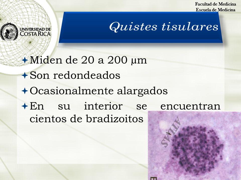 Miden de 20 a 200 µm Son redondeados Ocasionalmente alargados En su interior se encuentran cientos de bradizoitos Facultad de Medicina Escuela de Medi
