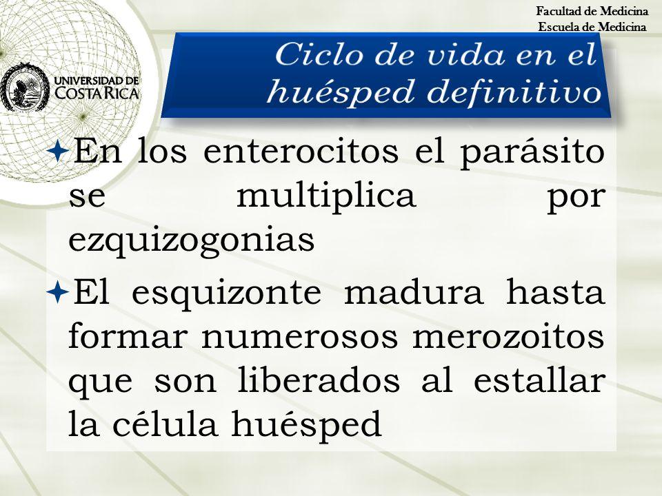 En los enterocitos el parásito se multiplica por ezquizogonias El esquizonte madura hasta formar numerosos merozoitos que son liberados al estallar la