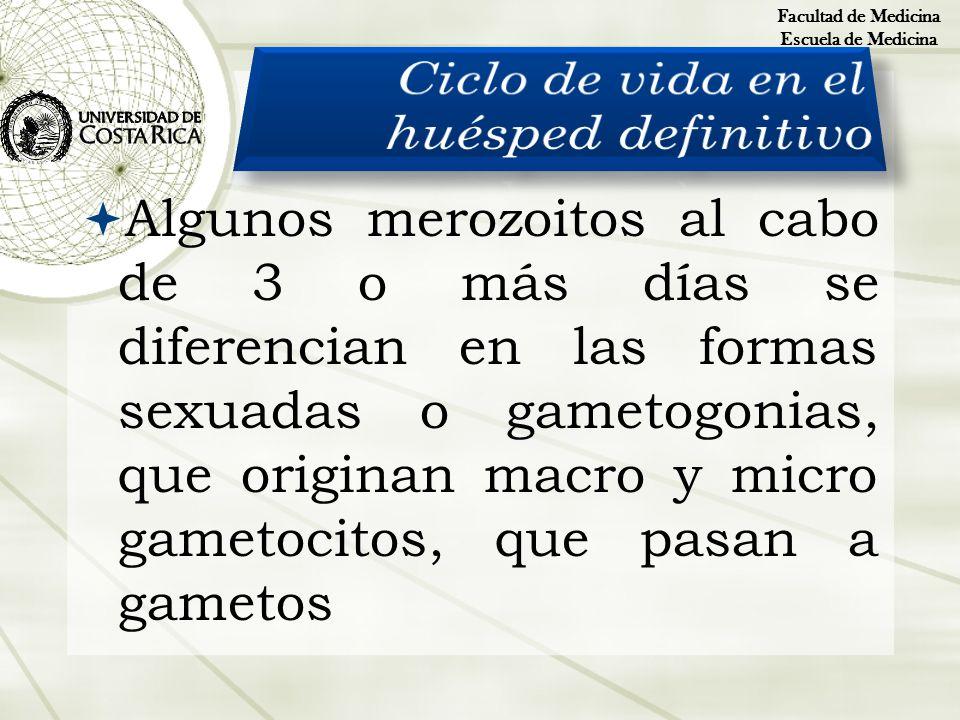 Algunos merozoitos al cabo de 3 o más días se diferencian en las formas sexuadas o gametogonias, que originan macro y micro gametocitos, que pasan a g