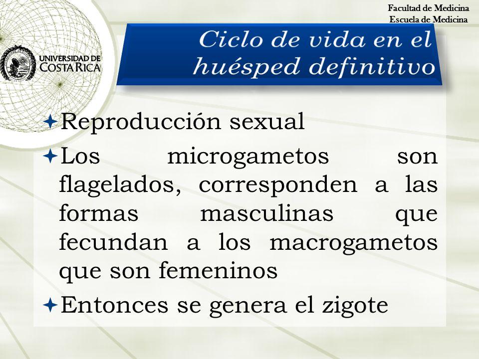 Reproducción sexual Los microgametos son flagelados, corresponden a las formas masculinas que fecundan a los macrogametos que son femeninos Entonces s