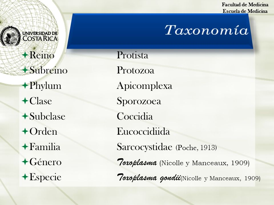 ReinoProtista SubreinoProtozoa PhylumApicomplexa ClaseSporozoea SubclaseCoccidia OrdenEucoccidiida FamiliaSarcocystidae (Poche, 1913) Género Toxoplasm