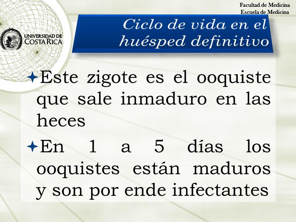 Este zigote es el ooquiste que sale inmaduro en las heces En 1 a 5 días los ooquistes están maduros y son por ende infectantes Facultad de Medicina Es