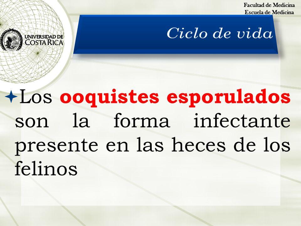 Los ooquistes esporulados son la forma infectante presente en las heces de los felinos Facultad de Medicina Escuela de Medicina