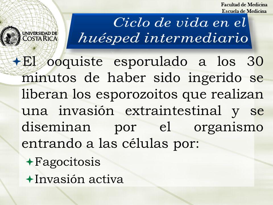 El ooquiste esporulado a los 30 minutos de haber sido ingerido se liberan los esporozoitos que realizan una invasión extraintestinal y se diseminan po