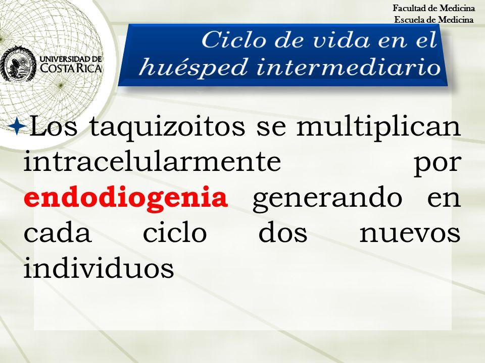 Los taquizoitos se multiplican intracelularmente por endodiogenia generando en cada ciclo dos nuevos individuos Facultad de Medicina Escuela de Medici