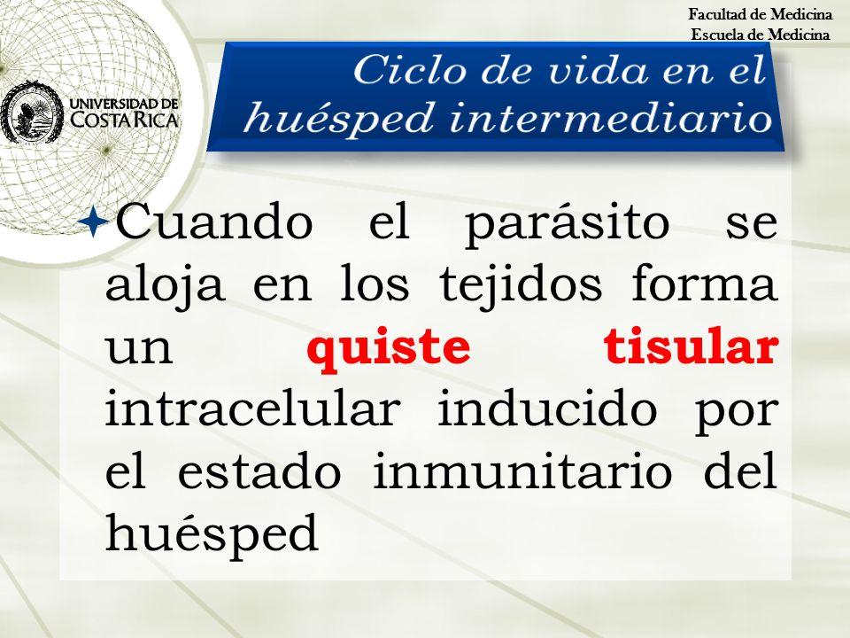 Cuando el parásito se aloja en los tejidos forma un quiste tisular intracelular inducido por el estado inmunitario del huésped Facultad de Medicina Es