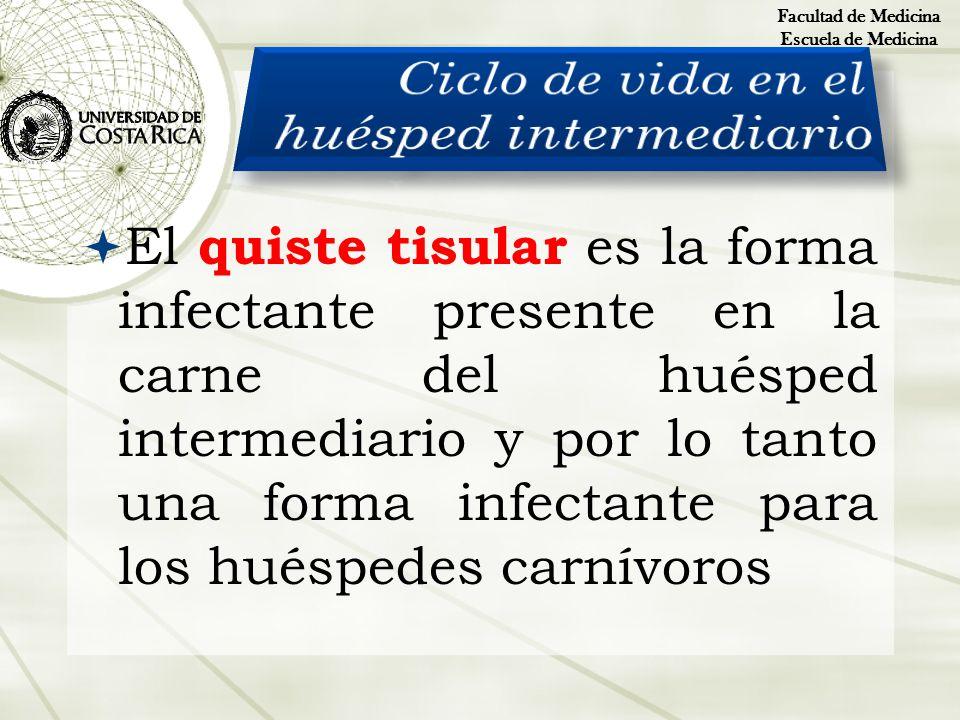 El quiste tisular es la forma infectante presente en la carne del huésped intermediario y por lo tanto una forma infectante para los huéspedes carnívo