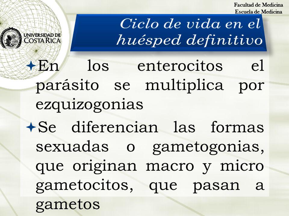 En los enterocitos el parásito se multiplica por ezquizogonias Se diferencian las formas sexuadas o gametogonias, que originan macro y micro gametocit