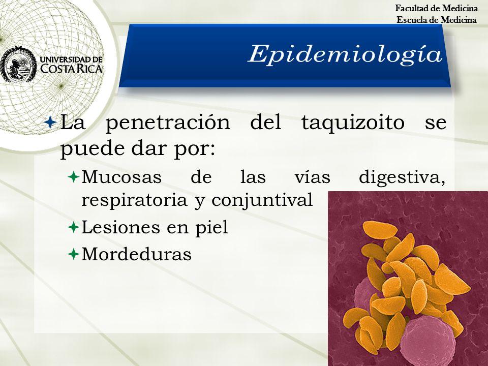 La penetración del taquizoito se puede dar por: Mucosas de las vías digestiva, respiratoria y conjuntival Lesiones en piel Mordeduras Facultad de Medi