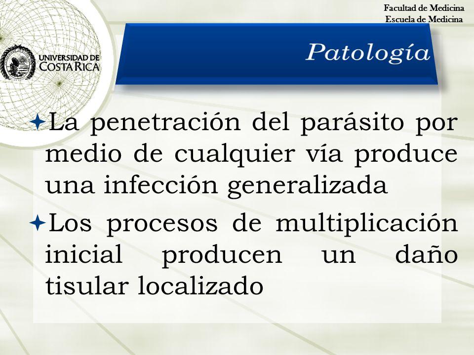 La penetración del parásito por medio de cualquier vía produce una infección generalizada Los procesos de multiplicación inicial producen un daño tisu