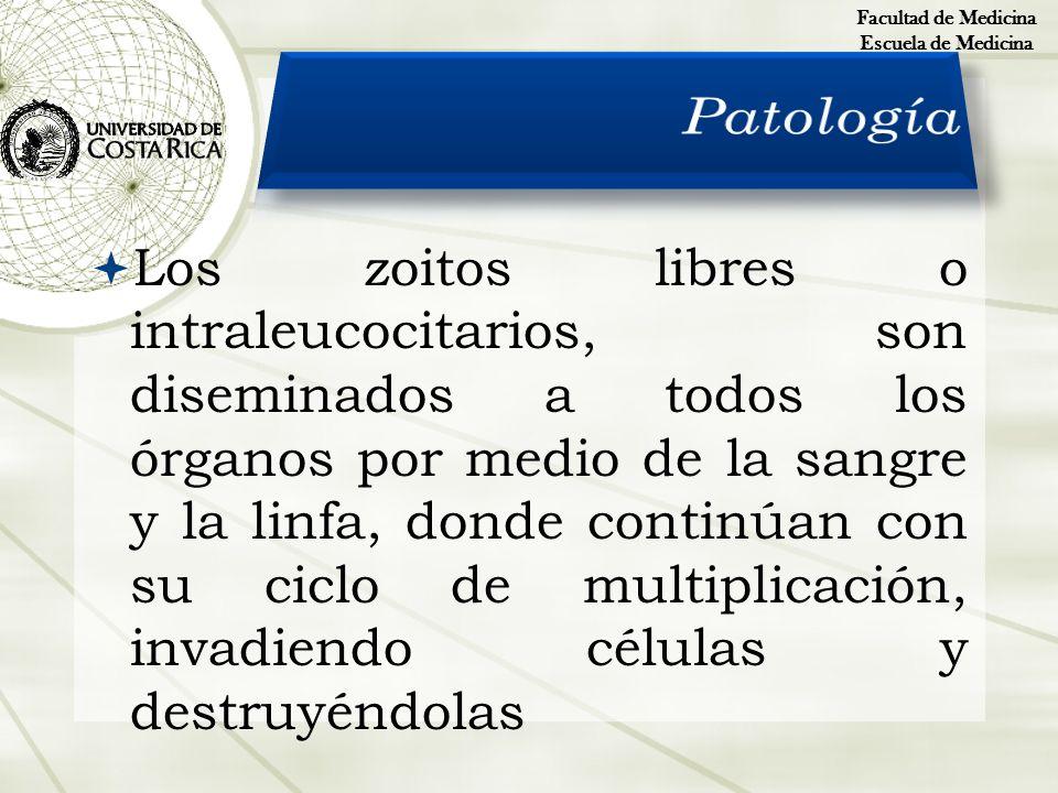 Los zoitos libres o intraleucocitarios, son diseminados a todos los órganos por medio de la sangre y la linfa, donde continúan con su ciclo de multipl