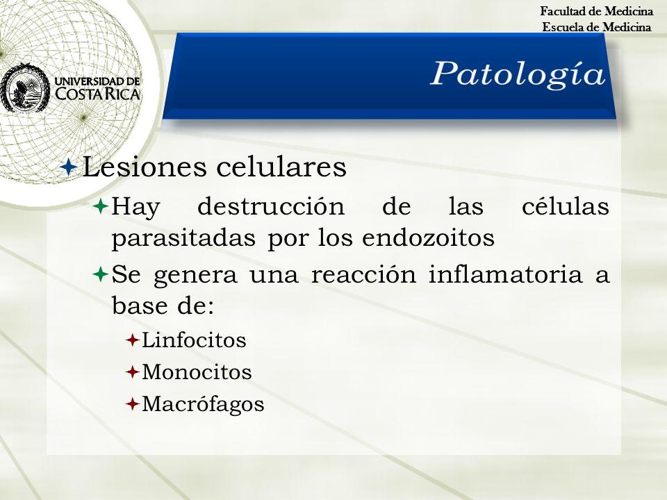 Lesiones celulares Hay destrucción de las células parasitadas por los endozoitos Se genera una reacción inflamatoria a base de: Linfocitos Monocitos M
