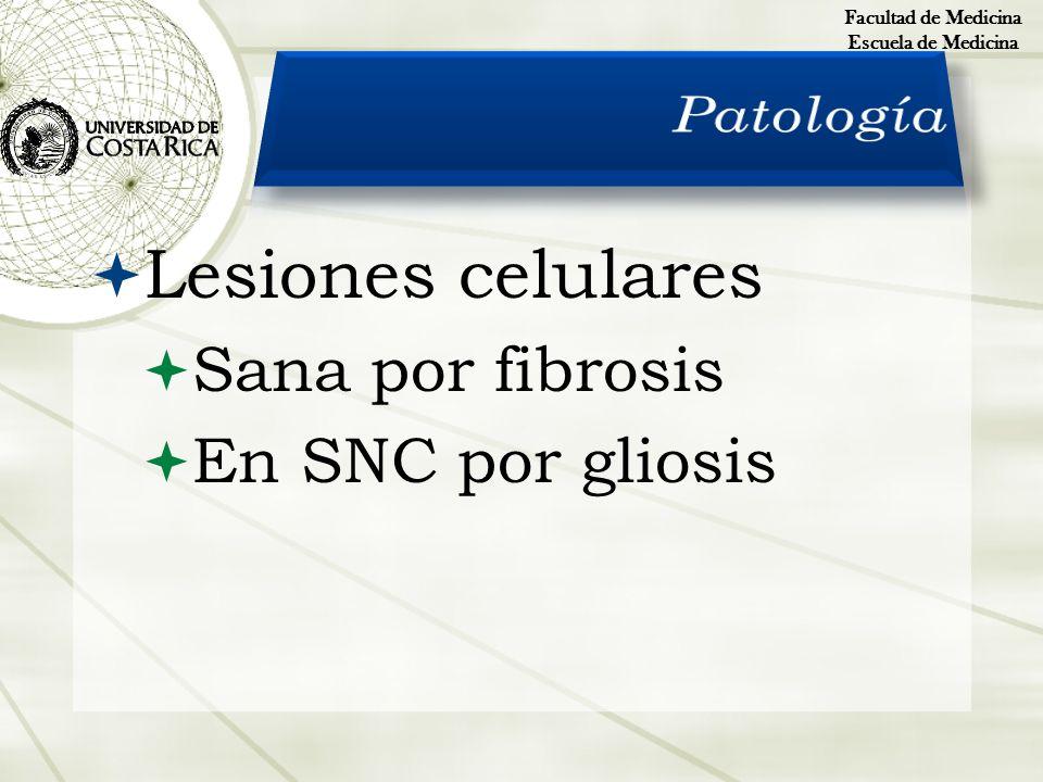 Lesiones celulares Sana por fibrosis En SNC por gliosis Facultad de Medicina Escuela de Medicina
