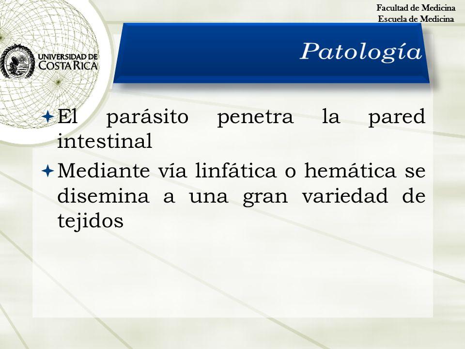 El parásito penetra la pared intestinal Mediante vía linfática o hemática se disemina a una gran variedad de tejidos Facultad de Medicina Escuela de M