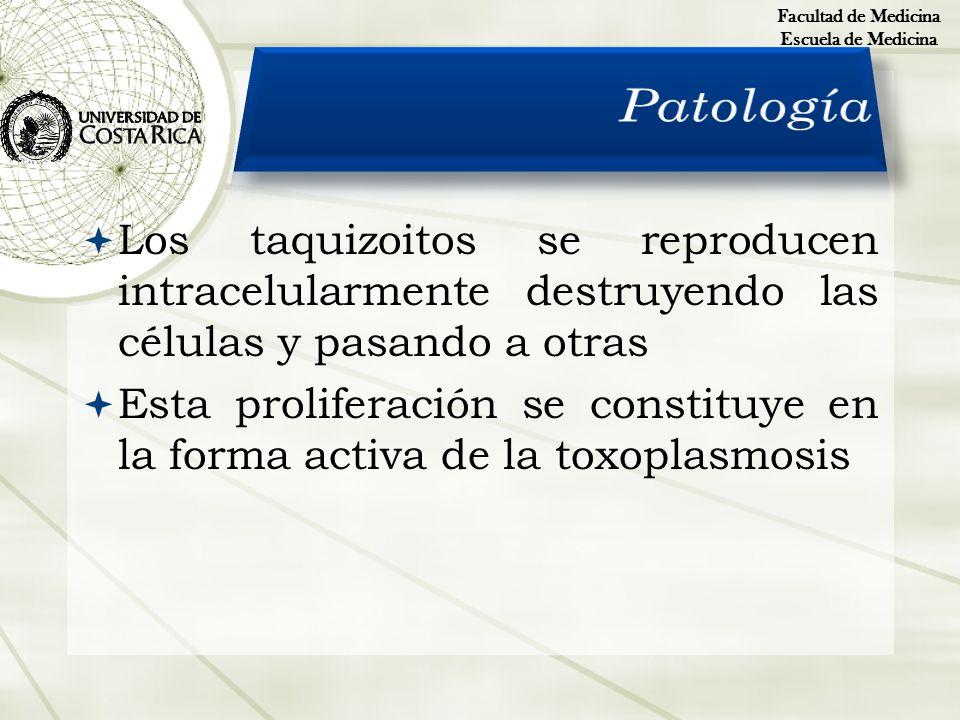 Los taquizoitos se reproducen intracelularmente destruyendo las células y pasando a otras Esta proliferación se constituye en la forma activa de la to