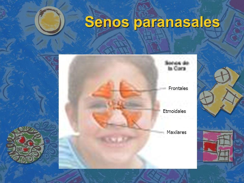 Frontales Etmoidales Maxilares Senos paranasales